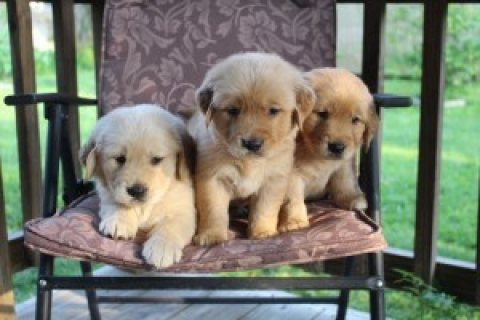 Two Gorgeous, quality AKC Golden Retriever puppies for sale