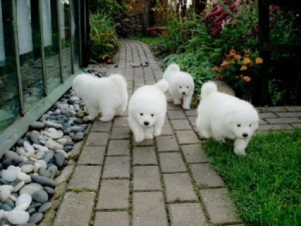 Purebred Samoyed Puppies for sale
