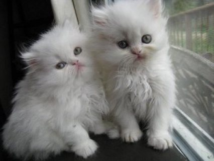 Two White male and female Persian Kittens for sale..,