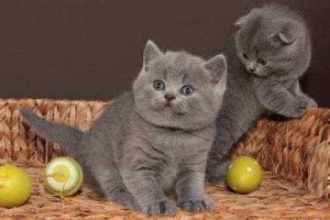 British Short Hair kittens for re-homing...