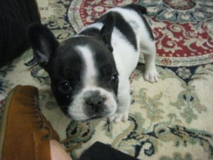 صور Adorable FRENCH BULLDOG for adoption..,.,,,,,,,,,,,,,,,,,,,,,, 1