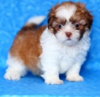 Shih Tzu puppies for sale in good home