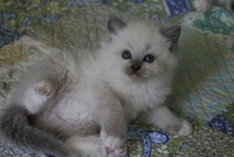 Two male and female Rogdoll Kittens for sale..../