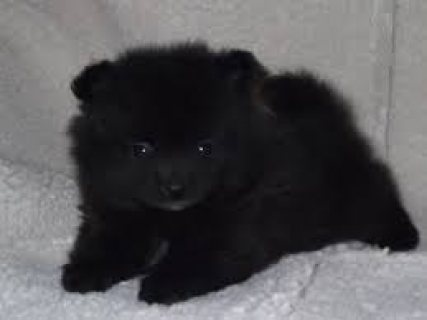 black Male and female Pomeranian puppies ready for sale.contact.