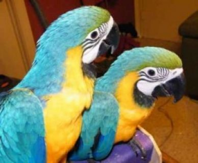 صور Two Blue and Gold Macaws parrots for sale.. 1