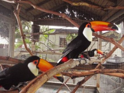 Male and female Tucans birds ready for sale.please contact .