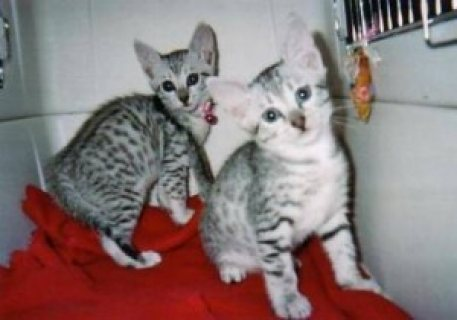 صور Lovely male and female Egyptian Mau Kittens for sale ... 1