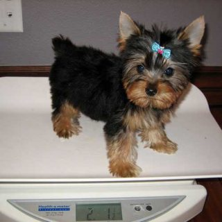 male an female yorkies puppies for adoption