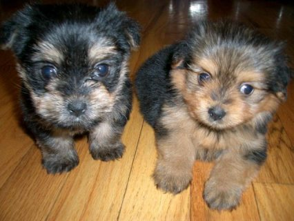 Beautiful Yorkshire Terrier Pups