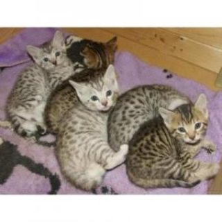 Females and Males Bengal kittens ready for their new homes.