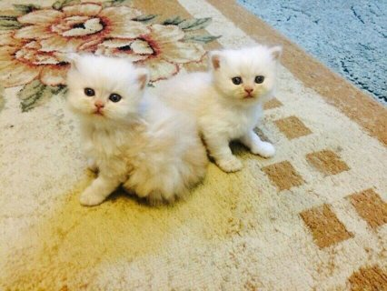 Beautiful high white and cream boy /girl