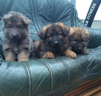 Good looking german shelperd puppies For Sale