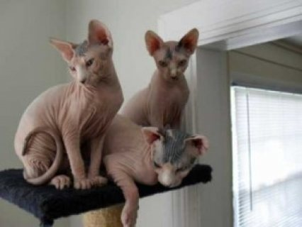 Good looking Cute Sphynx Kittens for sale