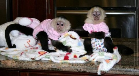 Good looking Amazing baby capuchin monkeys Up For Sale