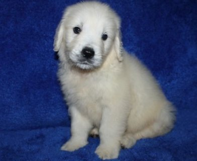 Good looking lovely,socialzed male and female Golden Retriever p