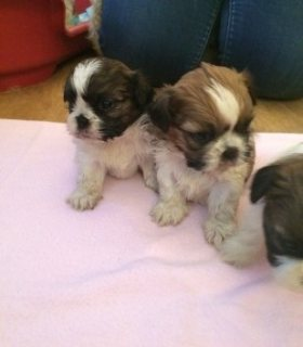 Good looking Shih Tzu puppies ready for rehoming
