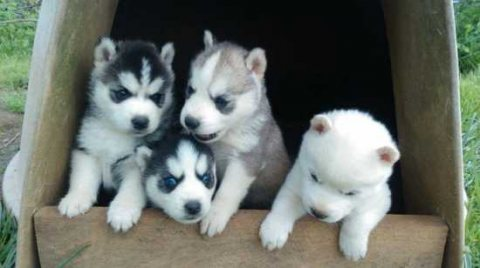 Good looking Sweet and wonderful Siberian husky puppies