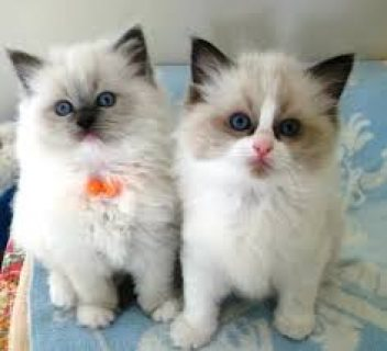 Excellent Ragdoll Kittens Available For Any Good Homes.......