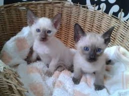 صور Cute Male And Female Siamese Kittens Ready for sale.... 1