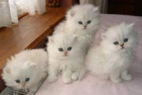 Cute Teacup male and female Persian Kittens for Sale