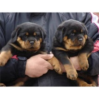 صور Rottweiler Puppies Available for sale 1