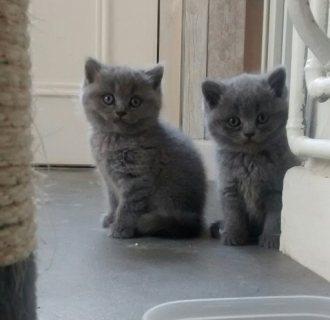 Beautiful Pedigree Pure British Shorthair Kittens
