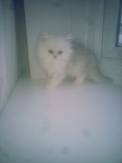 Fabulous Chinchilla Long Haired Persian Kittens