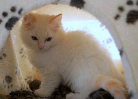 Litter Of Ragdoll Kittens Avalaible For Rehoming