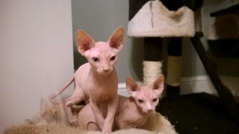Sphynx Kittens, Ready Now.