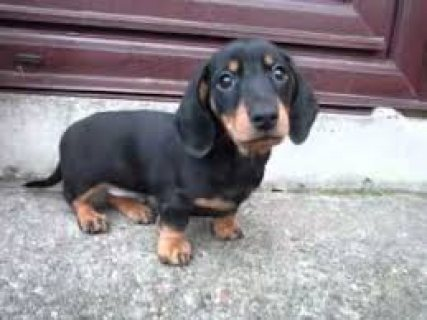 male and female Dachshund Puppies Available for sale....contact