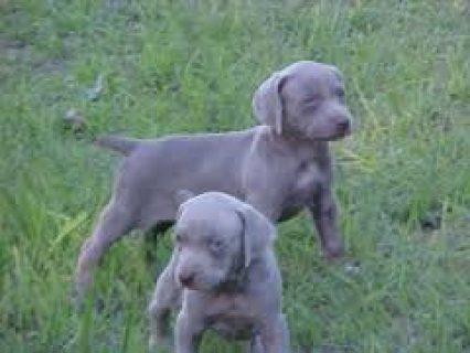 Weimaraner Puppies for Re-homing
