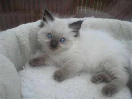 Cute male and female Ragdoll Kittens Ready for Christmas(for sal