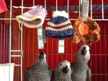 Baby Handreared African Grey Parrots