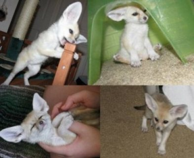 Fennec fox kittens for sale .Please contact