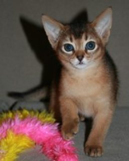 STUNNING MALE AND FEMALE ABYSSINIAN KITTENS FOR ADOPTION..