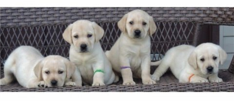 GORGEOUS YELLOW AND LIGHT CREAM LABRADORS PUPPIES FOR SALE.