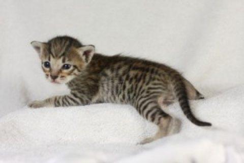 Beautiful Savannah Kittens for sale
