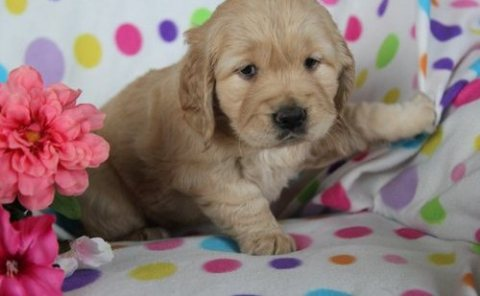 Sensitive Golden retriever pups for sale