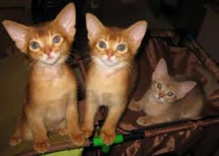 صور male and female Abyssinian kittens for sale. 1