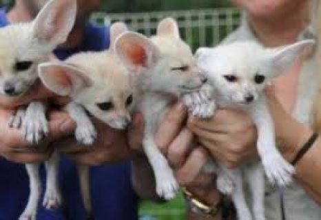 Male and female fennec fox  kittens for sale