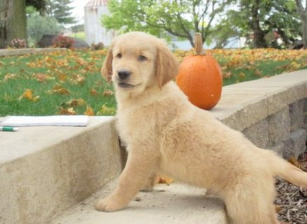 Excellent male and female golden retriever puppies