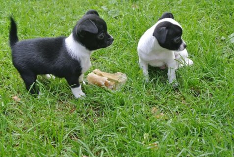 Magnifficient Chihuahua Puppies