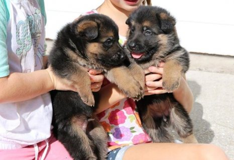 Good looking Playful Little German Shepherd Puppies