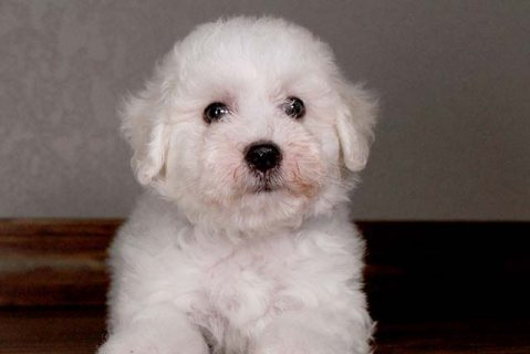 lovable bichon puppy for xmass re-homing