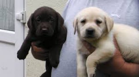 صور Gorgeous males and females labrador Puppies for sale 1