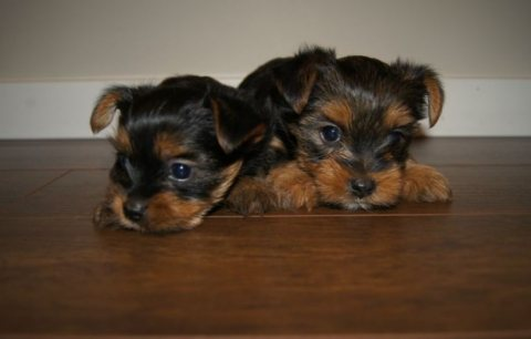 home raised teacup Yorkie puppies