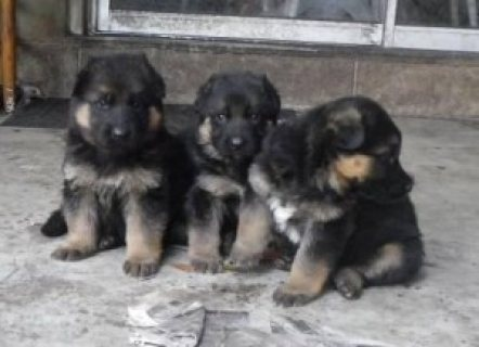 Cute Males and Female German Shepherd puppies for sale