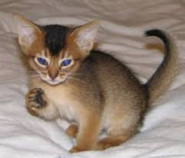 Abyssinian kittens for sale .Male and female .