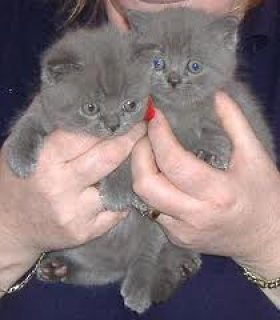 British shorthair kittens for sale.Cute male and female.