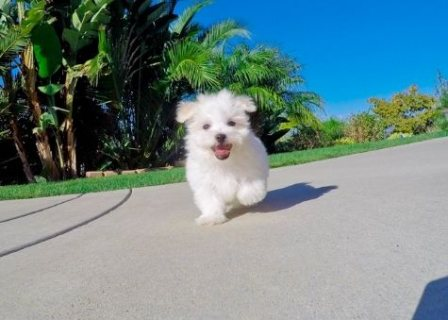 Maltese Puppy!!! Lizzy (female)